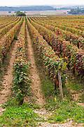 pinot noir vineyard clos st louis fixin cote de nuits burgundy france