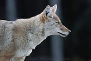 Coyote, Kananaskis, Alberta