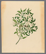 from a collection of ' Drawings of plants collected at Cape Town ' by Clemenz Heinrich, Wehdemann, 1762-1835 Collected and drawn in the Cape Colony, South Africa