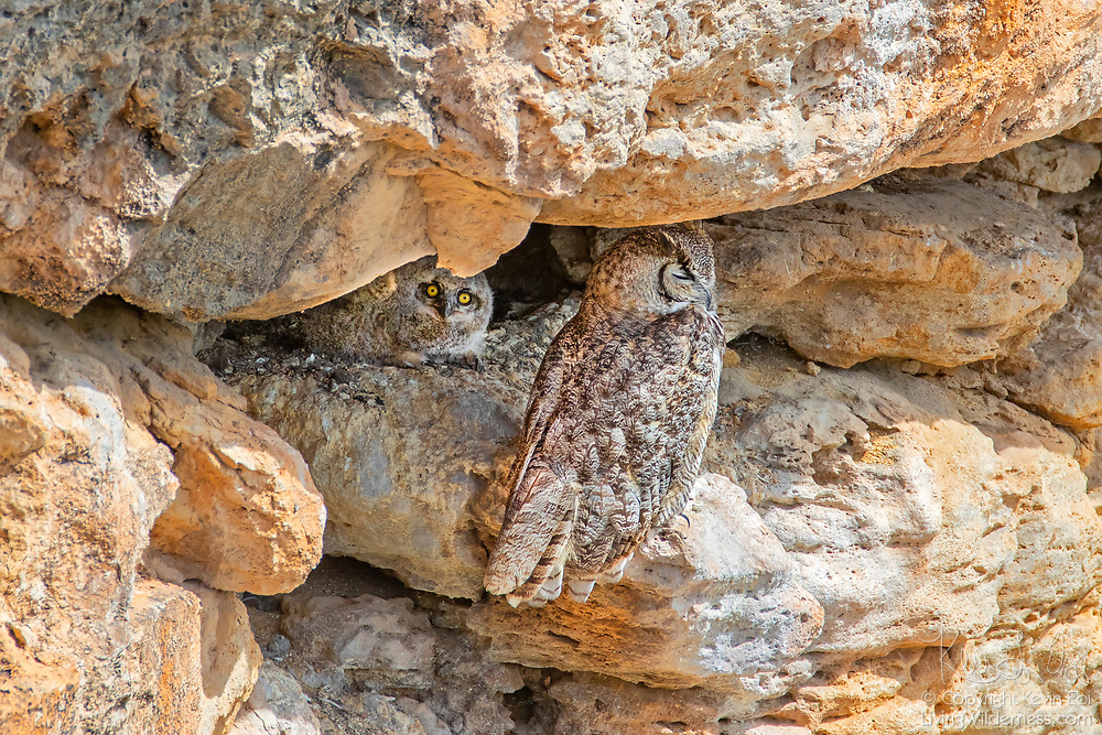 A great horned owl (Bubo virginianus) sits at the entrance to its nest on a rocky ledge overlooking Montezuma Well in Arizona as its young owlet looks out. Montezuma Well is part of the Montezuma Castle National Monument, which protects ancient cliff dwellings built and used by the Sinagua people between 1100 and 1425 AD.