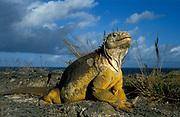 Land Iguana, Conolphus subcristata, Galapagos, Ecuador
