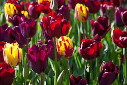 Tulipa 'Helmar', 'Jan Reus' and 'Havran'