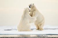 Two Polar Bears, Ursus maritimus, courting ocean ice north of Svalbard, Norway.