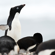 Adelie penguins nesting at a rookery on Petermann Island, Antarctica.