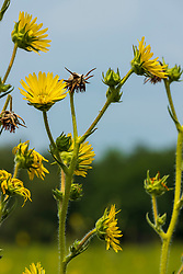 Silphium or a member of the aster family