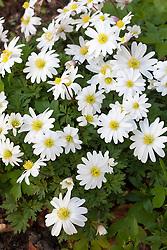 Anemone blanda 'White Splendour'. Winter windflower