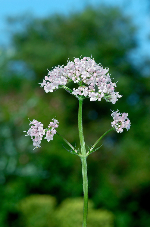 COMMON VALERIAN Valeriana officinalis (Valerianaceae) Height to 1.5m. Upright, usually unbranched perennial. Grows in grassy, wayside places, beside rivers and in woodland; favours both dry and damp soil, growing tallest in latter situation. FLOWERS are 3-5mm long, the corolla funnel-shaped, 5-lobed and pale pink; borne in dense, terminal umbels (Jun-Aug). FRUITS are oblong with a feathery pappus. LEAVES are lanceolate, toothed and in opposite pairs. STATUS-Widespread and locally common.