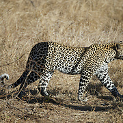 A young leopard, Malamala Game Reserve, South Africa.