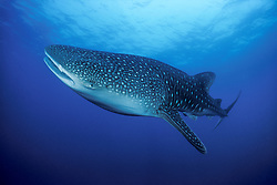 An  curious Whale Shark, Rhincodon typus, banks towards the photographer (not pictured) for a closer look. Richelieu Rock, Thailand, Andaman Sea, Indian Ocean