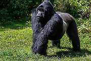 Sideview portrait of a standing silverback mountain gorilla (Gorilla beringei beringei) in the forest, Parc de Volcanos, Rwanda, Africa