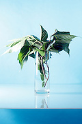 still life of a natural twig with big leaves in vase / bouquet of leaves