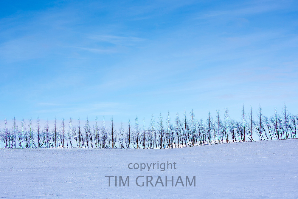 Graphic image of bare birch trees in curving snowy landscape in Iceland