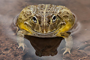 African bullfrog (Pyxicephalus edulis)<br /> Marataba, A section of the Marakele National Park, Waterberg Biosphere Reserve<br /> Limpopo Province<br /> SOUTH AFRICA<br /> HABITAT & RANGE: Seasonal shallow grassy pans and marshy areas in open savanna.