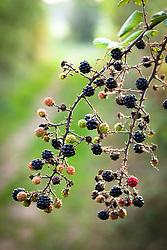 Blackberries growing wild in an autumn hedgerow. Blackberry, Bramble. Rubus fruticosus