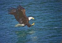 Bald Eagle (Haliaeetus leucocephalus) catching a fish in Gastineau Canel, Southeast Alaska.
