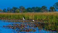 Great white egret, near Kwara Camp, Okavango Delta, Botswana.