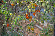 tomatoes developing on a tomato bush