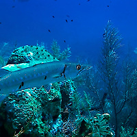 Great Barracuda, Sphyraena Barracuda, Grand Cayman