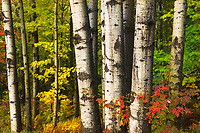 Intimate forest scene, aspen trunks, Hazen's Notch, Vermont, USA