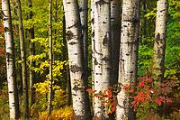 Intimate forest scene, aspen trunks, Hazen's Notch, Vermont, USA