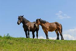 Groot paard, Equus ferus caballus