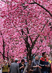 Visitors enjoy the scenery of cherry blossom at Yuantongshan Park in Kunming, capital of southwest China's Yunnan Province, March 14, 2016. Cherry flowers there have been in full bloom recently, attracting lots of tourists for visit. EXPA Pictures © 2016, PhotoCredit: EXPA/ Photoshot/ Lin Yiguang<br /> <br /> *****ATTENTION - for AUT, SLO, CRO, SRB, BIH, MAZ, SUI only*****