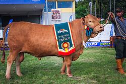 Grande Campeao Gado de Corte da raça Caracu durante a 38ª Expointer, que ocorrerá entre 29 de agosto e 06 de setembro de 2015 no Parque de Exposições Assis Brasil, em Esteio. FOTO: Vilmar da Rosa/ Agência Preview