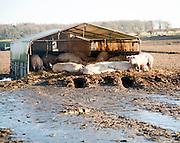 Free Range pig farming, Tunstall, Suffolk, England,UK