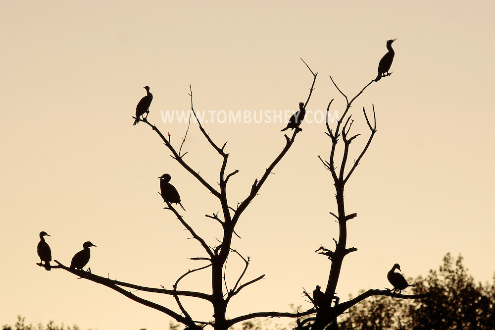 Middletown, New York - Double-crested cormorants perch in a tree at Fancher-Davidge Park on April 29, 2010.