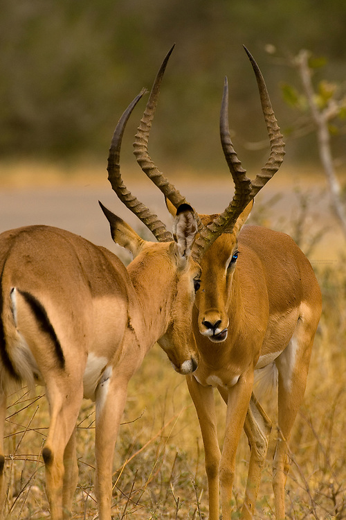 Impala rams sparring, Kruger National Park, South Africa