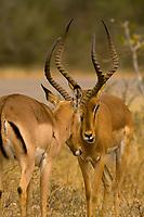 Impala rams sparring, Kruger National Park, South Africa