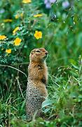 Alaska . Denali National Park . Arctic ground squirrel (Spermophillus perryii) with cinquefoil flowers in background .