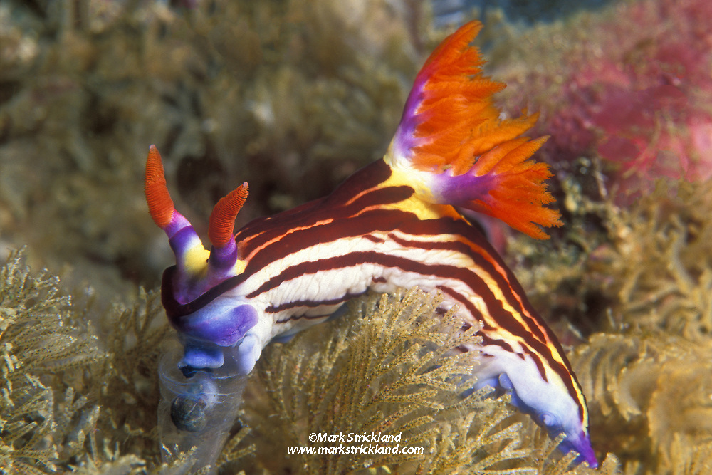 This colorful nudibranch, Nembrotha purpureolineata, is feeding on a tunicate. Komodo National Park, Flores Sea, Indonesia