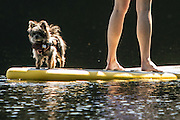 Dog days of summer have wagged their way into the Seattle area. This pooch hitches a ride on a paddle board with its owner on Beaver Lake on the Sammamish Plateau. (Steve Ringman / The Seattle Times)