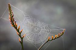 Cobweb on seedhead of Crocosmia x crocosmiiflora Solfatare AGM