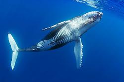 humpback whale, Megaptera novaeangliae, offshore, Hawaii, USA, Pacific Ocean