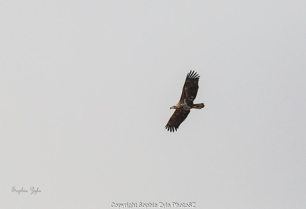 Juvenile Bald Eagle in Flight at Lake Morey