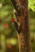 Black-cheeked Woodpecker, melanerpus pucherani, Arenal, Cloud Forest, Costa Rica