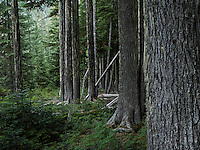 An opening in the forest allows a new crop of Western Hemlock trees to populate the mature forest understory.  Tahoma State Forest near Mount Rainier in the Cascade Range of Washington State, USA.