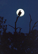Momma Eagle perches on a dead pine before a full, May moon rising over the May River.