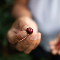 Close up of a red coffee cherry with a broca insect