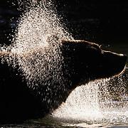 Alaskan Brown Bear (Ursus middendorffi) adult shaking off water. Katmai National Park. Alaska