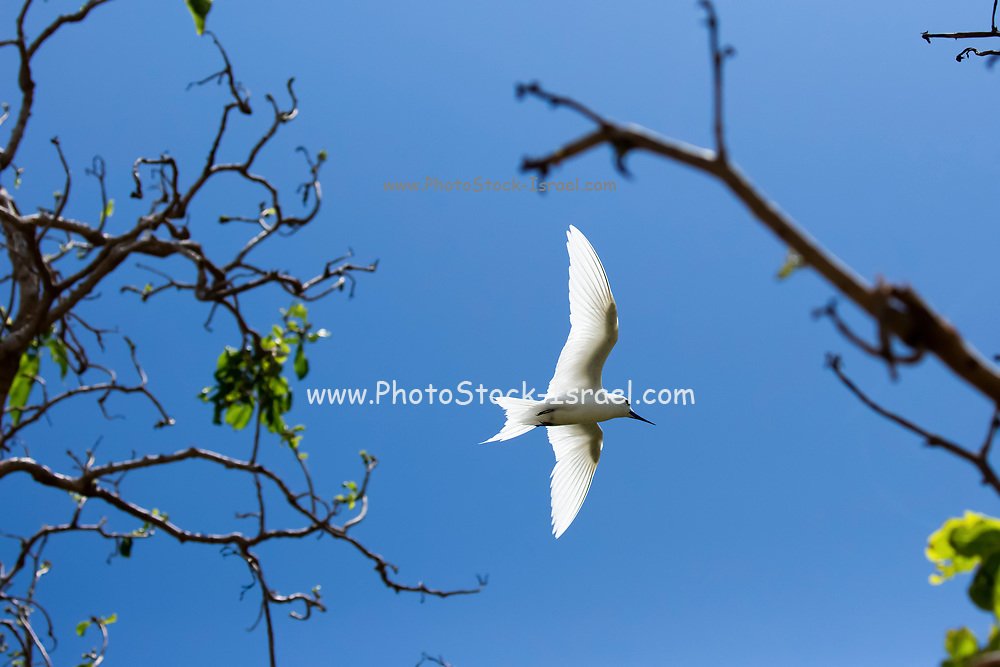 White tern or White Fairy Tern (Gygis alba) in flight, Photographed on Cousin Island, in the Seychelles, a group of islands north of Madagascar in the Indian Ocean.