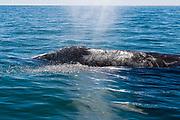 Gray whale (Eschrichtius robustus), February, San Ignacio Lagoon, El Vizcaíno Biosphere Reserve, Baja, Mexico