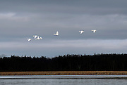 A flock of swans take flight over Flynns Bay and over Papoose Island in the St. Lawrence River near Clayton, NY, Friday, Dec. 19, 2014. In recent years, weeds (pictured) have overgrown the channel side of the island, and consequently, choke the fish spawning beds that were previously there. Environmentalists contend that the island's ecosystem has been threatened by the constrained water levels and flows imposed by a fifty year old water management plan.<br /> (Heather Ainsworth for The New York Times)