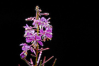 wet Fireweed (Epilobium angustifolium) against a black background