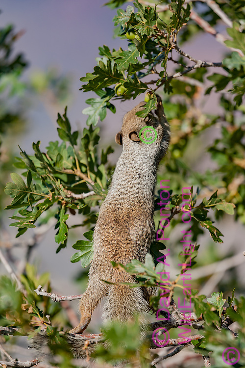 Rock squirrel pulls down branch with acorns in Gambel oak, near south rim of the Grand Canyon, Grand Canyon National Park, AZ