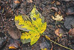 THEMENBILD - ein gelbes Ahornblatt auf einem dunklen Waldboden, aufgenommen am 29. September 2019, Piesendorf, Österreich // a yellow maple leaf on a dark forest floor on 2019/09/29, Piesendorf, Austria. EXPA Pictures © 2019, PhotoCredit: EXPA/ Stefanie Oberhauser
