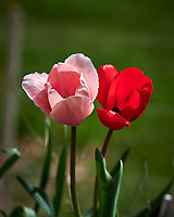Pink and Red Tulip Flowers. Image taken with a Nikon D850 camera and 105 mm f/1.4 lens (ISO 64, 105 mm, f/4, 1/3200 sec).