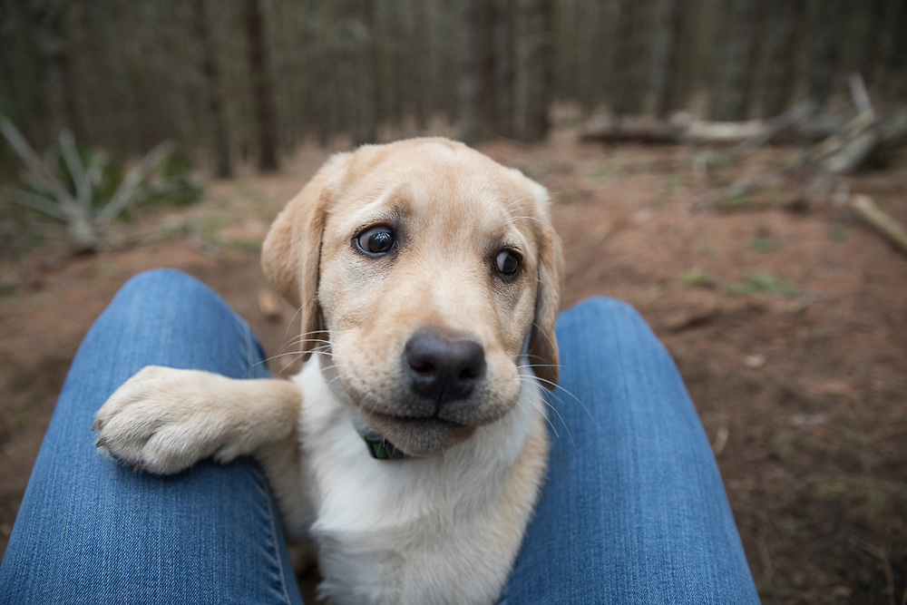 Cute Lab puppy between knees of a person